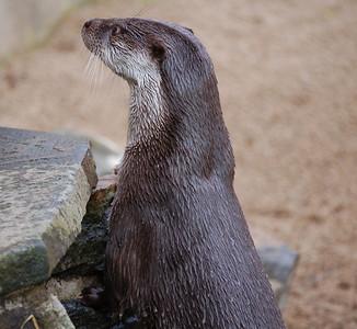 Otter, Highland Wildlife Park, Scotland