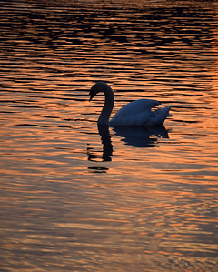 01.04.14 - Serenity  This is from my guided photo walk last night, a swan floating serenely on Brayford Pool at dusk